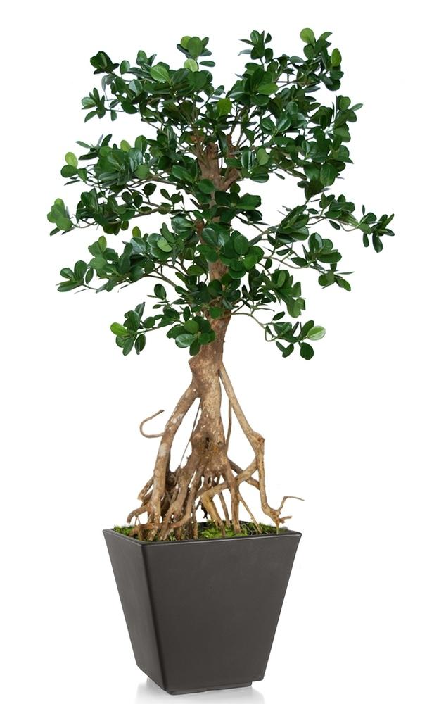 Ficus Panda Root Mini